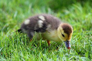 litlle duck van