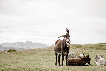 Schattige, vrolijke Ezel in de Dolomieten van Italie van Wianda Bongen