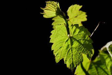Wijnstokblad in de lente