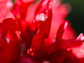 klaproos met regendruppels van Marieke Funke