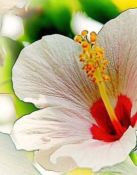 White Hibiscus von Eduard Lamping