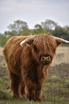 Kalfje Schotse hooglander van Anouk Poelstra