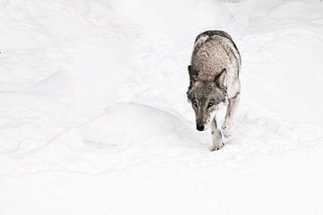 un loup rusé et dangereux nous observe. sur Michael Semenov