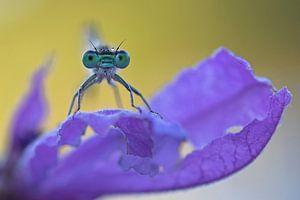 Lavendel Juffer / Damselfly on Lavender