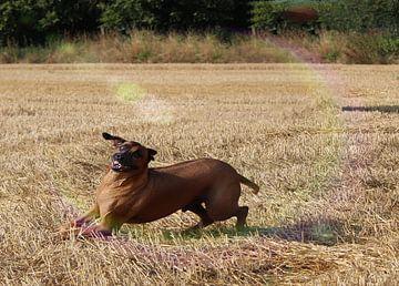 Rhodesische Ridgeback mannetje van Dagmar Behrens