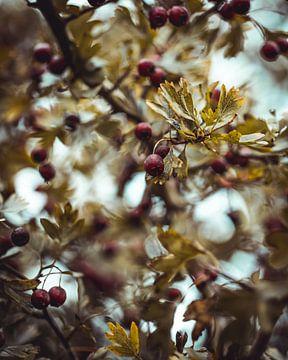 Beeren mit Herbstblättern von Pim Haring