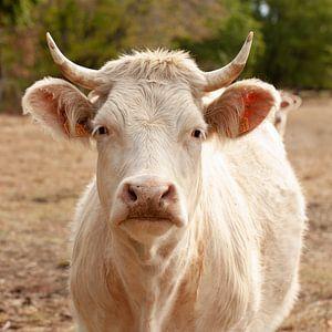 Witte, Franse Charolais koe
