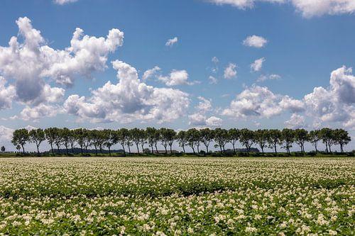 Aardappel veld in bloei