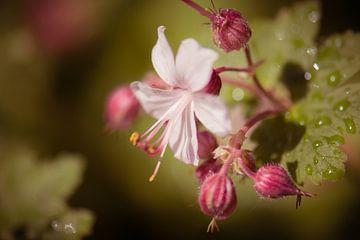 geranium van