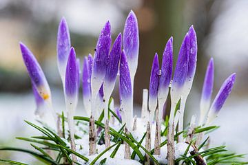 Lila Krokusblüten bringen den Vorfrühling von Kim Willems
