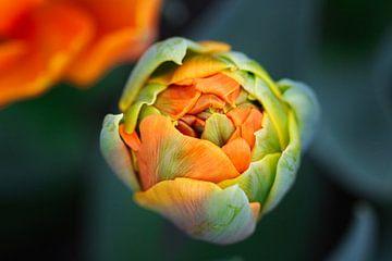 Junge Tulpe von SallysMacroworld