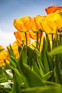 Tulpen in tegenlicht van Michael Roubos