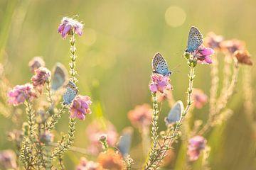 Vlinder, Heideblauwtje von Aukje Ploeg