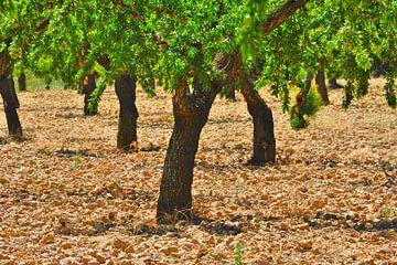 Olijfbomen van Harrie Muis
