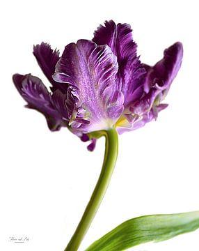 Violette französische Tulpe ( Papageien-Tulpe) von Flower and Art