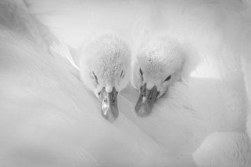 Tweeling zwaan von Karin Tebes