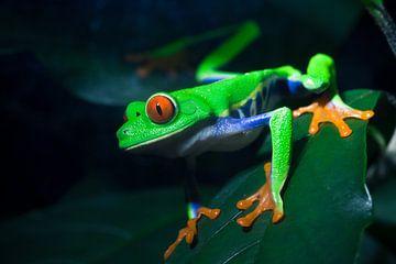 Red-Eyed Treefrog sur Martijn Smeets