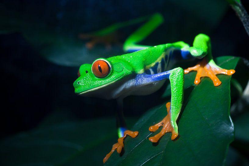 Red-Eyed Treefrog van Martijn Smeets