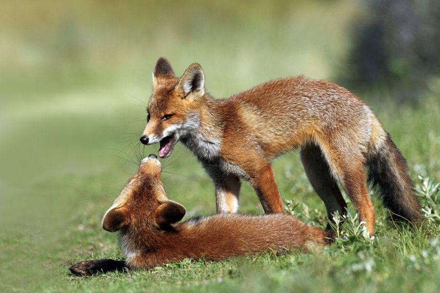 Twee spellende jonge vosjes