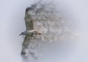 Herring gull sur