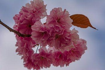 Kirschblüten von Johnny Flash