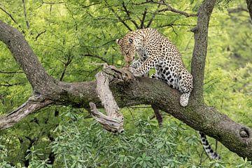 Luipaard geniet van haar prooi van Cees Stalenberg