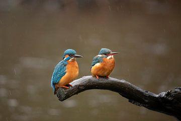 Eisvogel, Mann und Frau. Alcedo Atthis von Gert Hilbink
