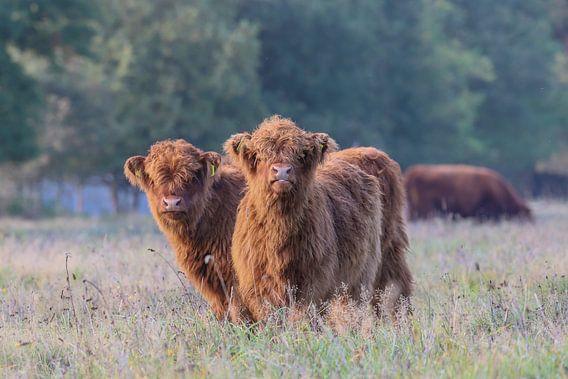 2 Nieuwgierige Schotse Hooglander kalfjes