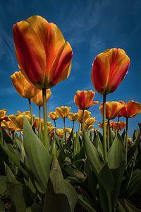 Oranje - gele tulpen met een blauwe lucht van