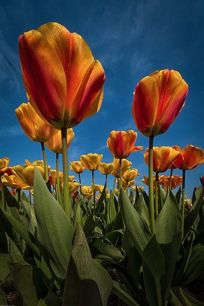 Oranje - gele tulpen met een blauwe lucht van Marjolijn van den Berg