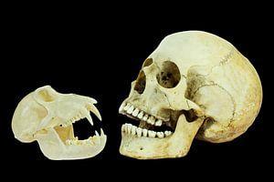 Echte schedels van mens en aap geïsoleerd op zwarte achtergrond
