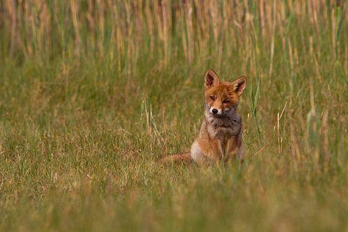 Een jong vos zit in het gras van