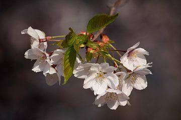 Koreaanse bloesem in bloei van Tristan Lavender