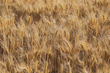 het graanveld in de wind