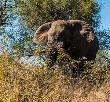 Afrikaanse olifant, nakomeling van de Loxodonta adaurora van Rob Smit