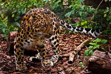 Un léopard d'Extrême-Orient bien camouflé (camouflage) est pratiquement invisible dans la forêt, une sur Michael Semenov