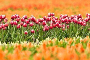 Blumenfelder mit Tulpen in voller Blüte von eric van der eijk