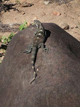 Leguaan in Rincon de la Vieja Costa Rica van Daniëlle van der meule