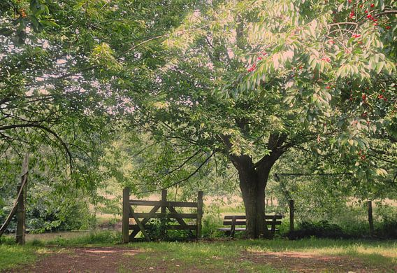 De kersenboom