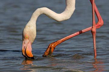 Flamingo in de Camargue sur Antwan Janssen