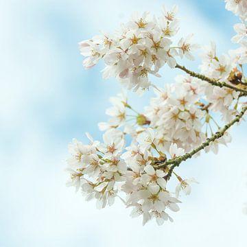 japanische Kirschblüte (Sakura) von Ardi Mulder