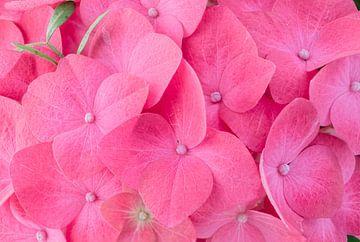 Hortensia pink flower sur Lorena Cirstea