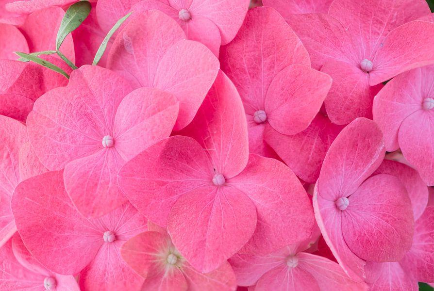 Hortensia pink flower