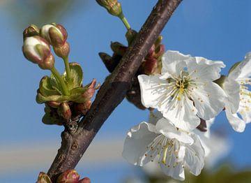 bloeiende kersenbloesem 3 van