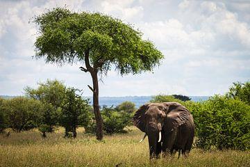 Elefant in Tansania von OCEANVOLTA