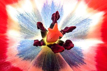 Makro einer blühenden Tulpe von Nisangha Masselink