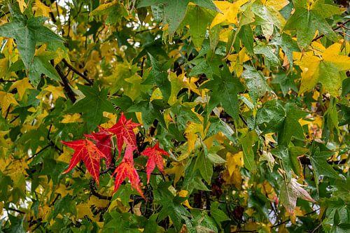 Amerikaanse Amberboom met beginnende herfstkleuren