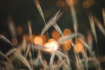 Strohhalm bei Sonnenuntergang von Steven Marinus