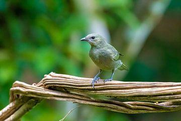 Vogel in Costa Rica von Merijn Loch