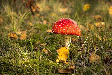 Fliegenpilz im Herbst von Mario Lere